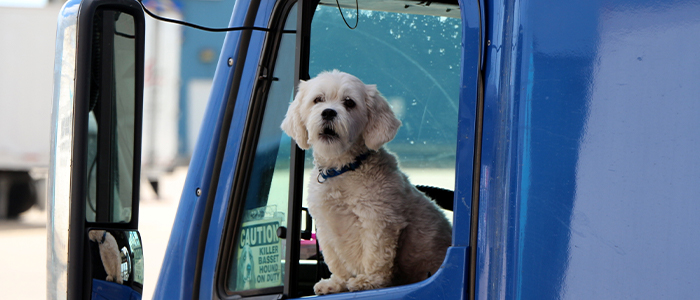Classic Carrier driver's dog looking outside the truck window.